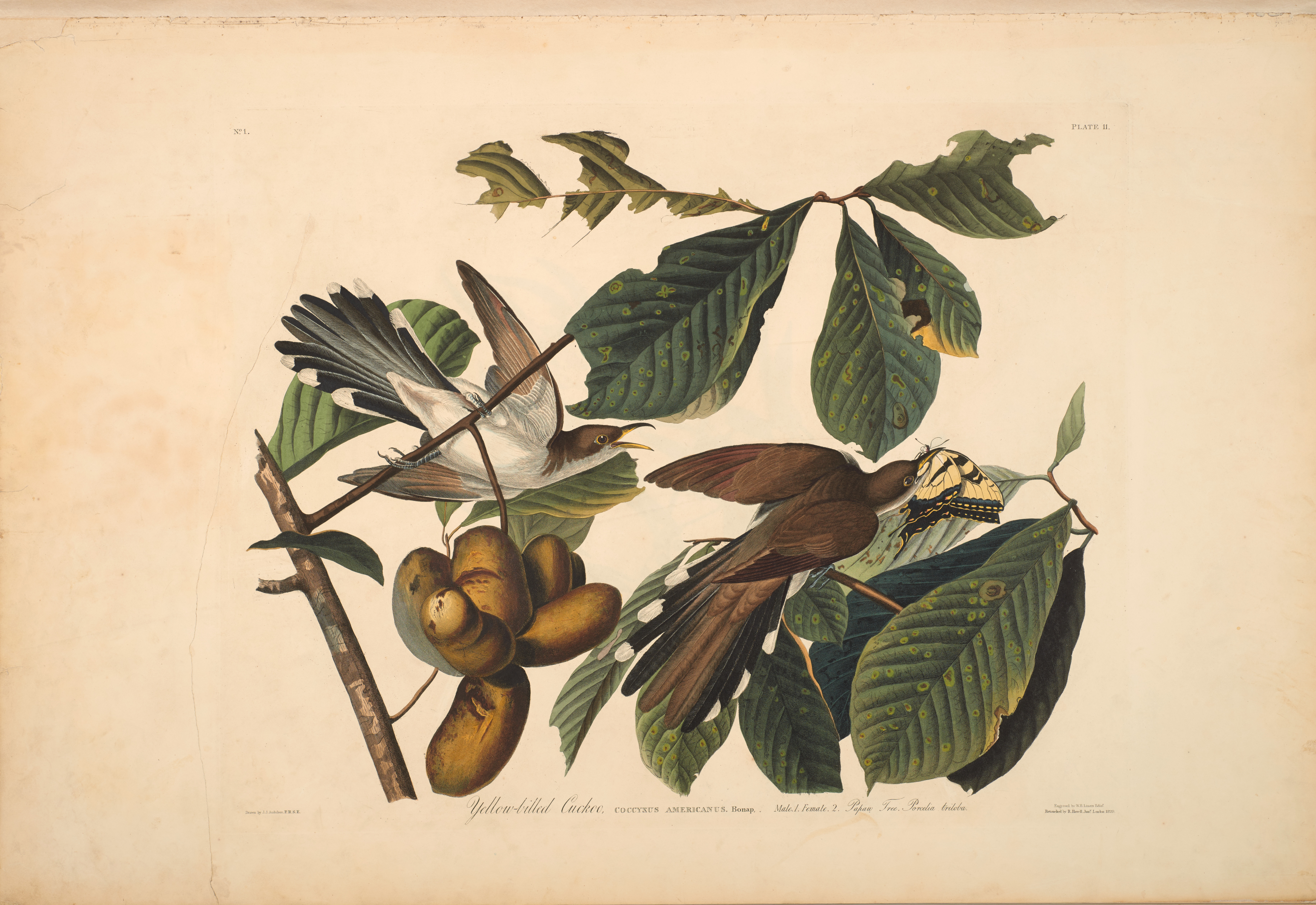John James Audubon , Yellow-billed Cuckoo, from The Birds of America, 1827 – 38, hand-colored aquatint/engraving on paper , 40 x 26 in., North Carolina Museum of Art, Transfer from the North Carolina State Library