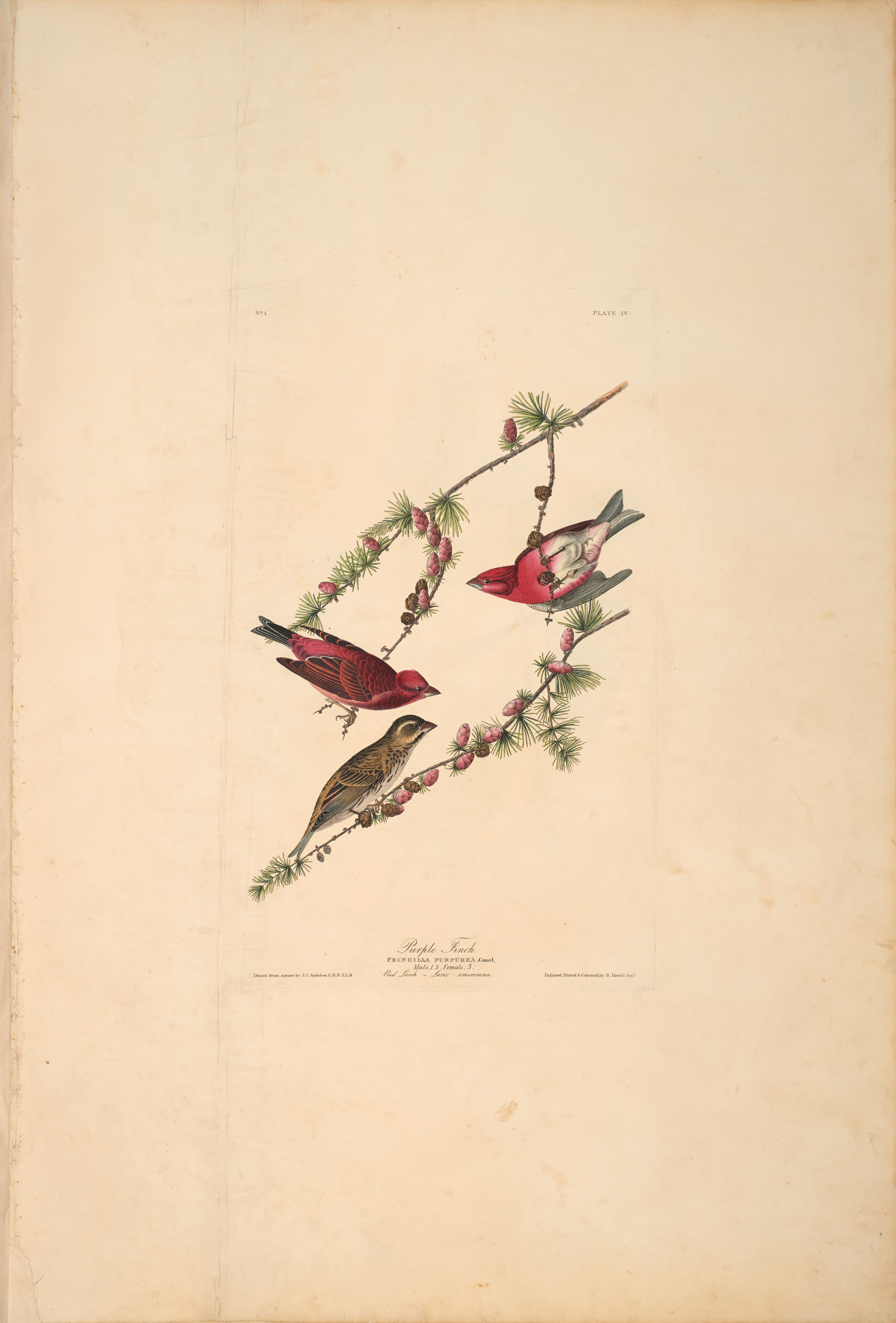 John James Audubon, Purple Finch, from The Birds of America, 1827 – 38 , hand - colored aquatint/engraving on paper , 40 x 26 in., North Carolina Museum of Art, Transfer from the North Carolina State Library
