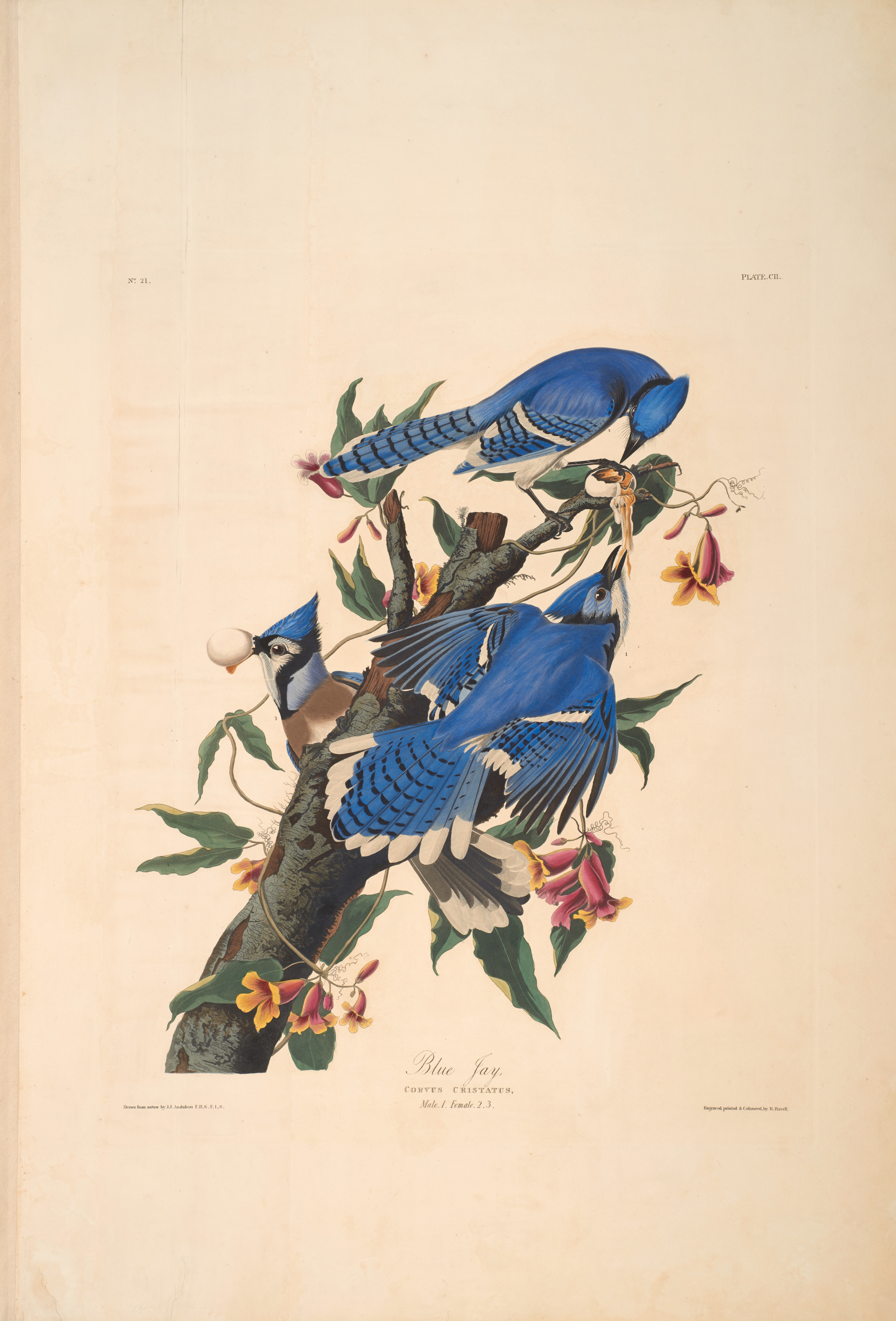 John James Audubon, Blue Jay, from The Birds of America, 1827 – 38 , hand - colored aquatint/engraving on paper , 40 x 26 in., North Carolina Museum of Art, Transfer from the North Carolina State Library