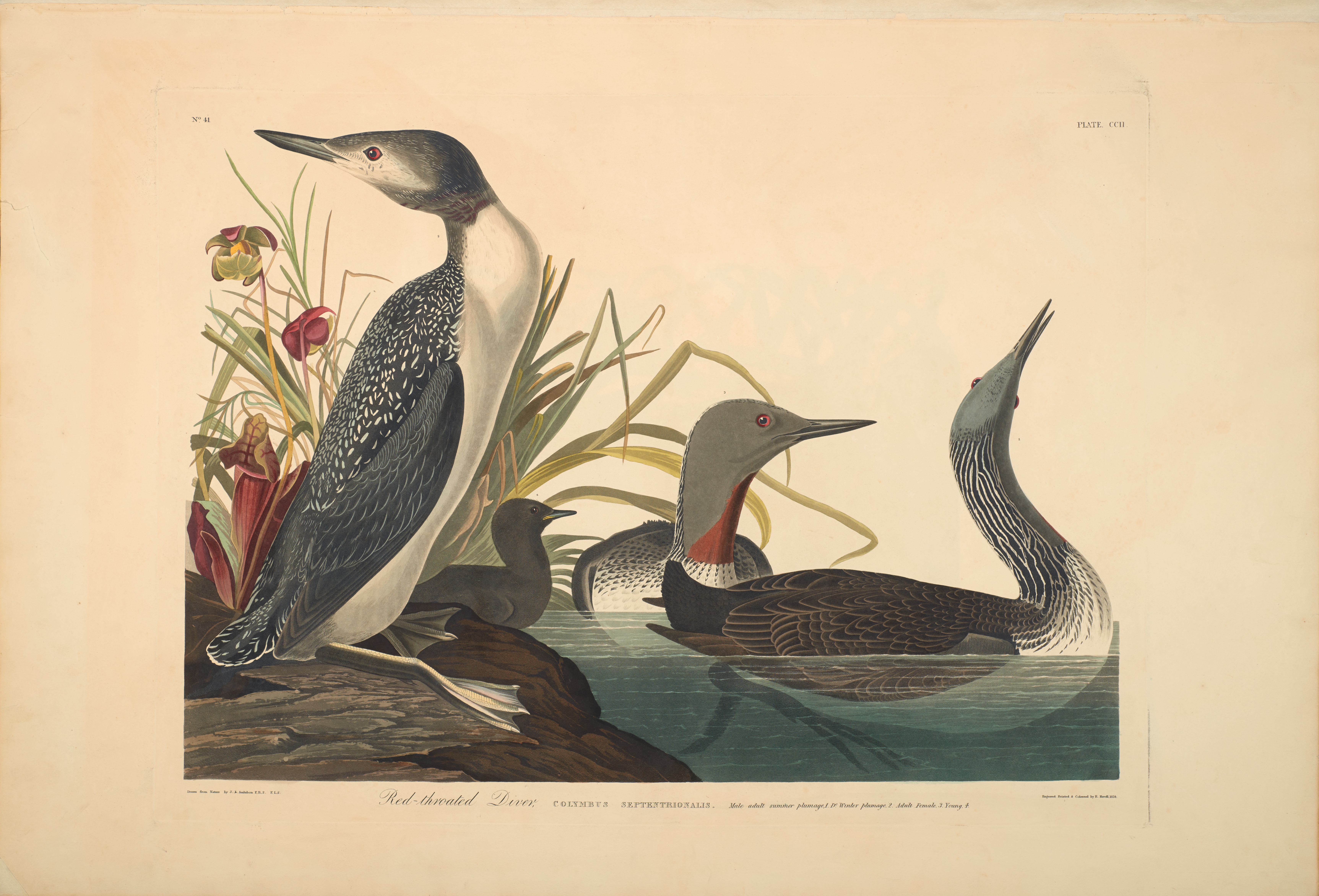 John James Audubon, Red-throated Diver, from The Birds of America, 1827 – 38 , hand - colored aquatint/engraving on paper , 40 x 26 in., North Carolina Museum of Art, Transfer from the North Carolina State Library