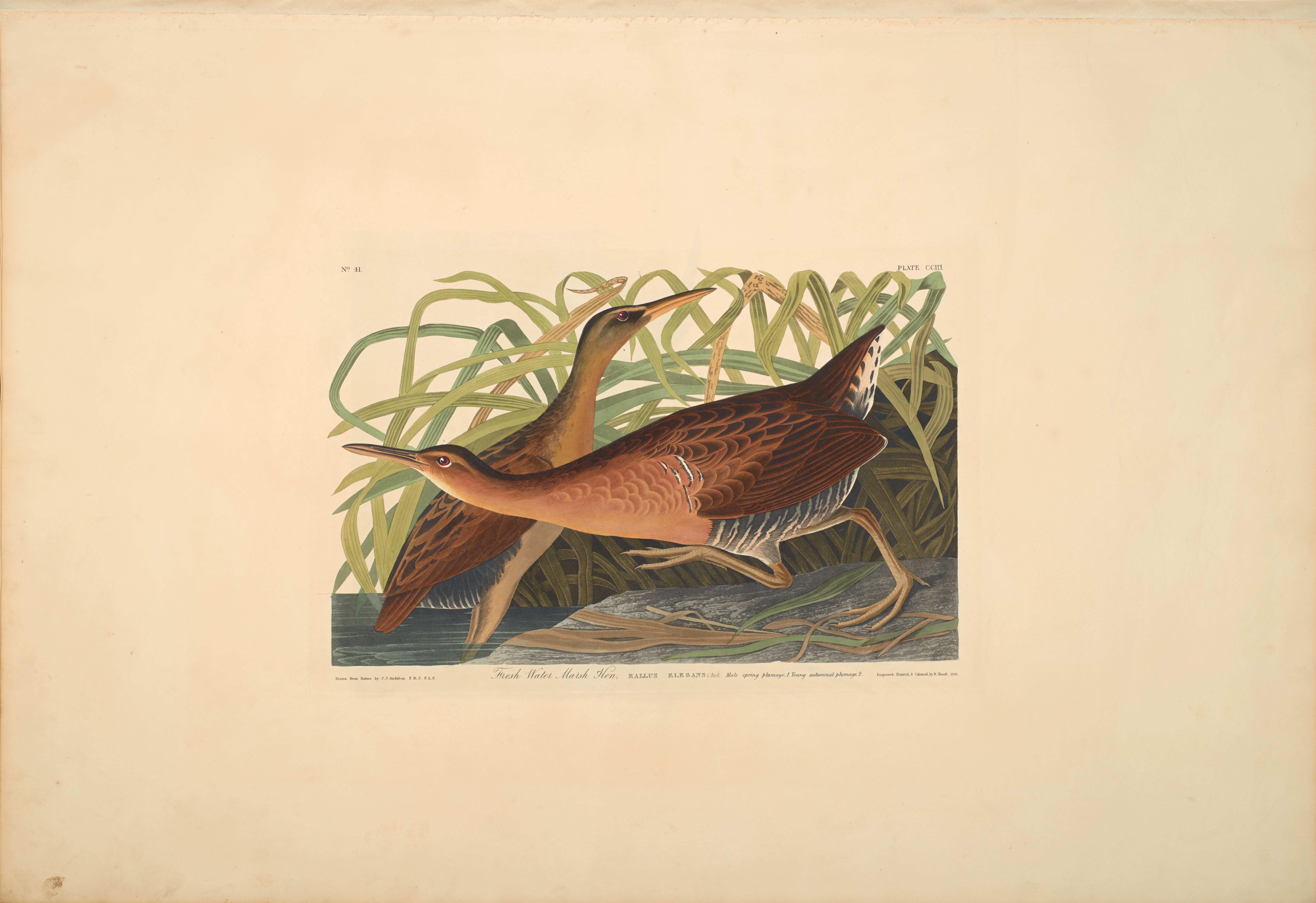 John James Audubon, Fresh-water Marsh Hen, from The Birds of America, 1827 – 38 , hand - colored aquatint/engraving on paper , 40 x 26 in., North Carolina Museum of Art, Transfer from the North Carolina State Library