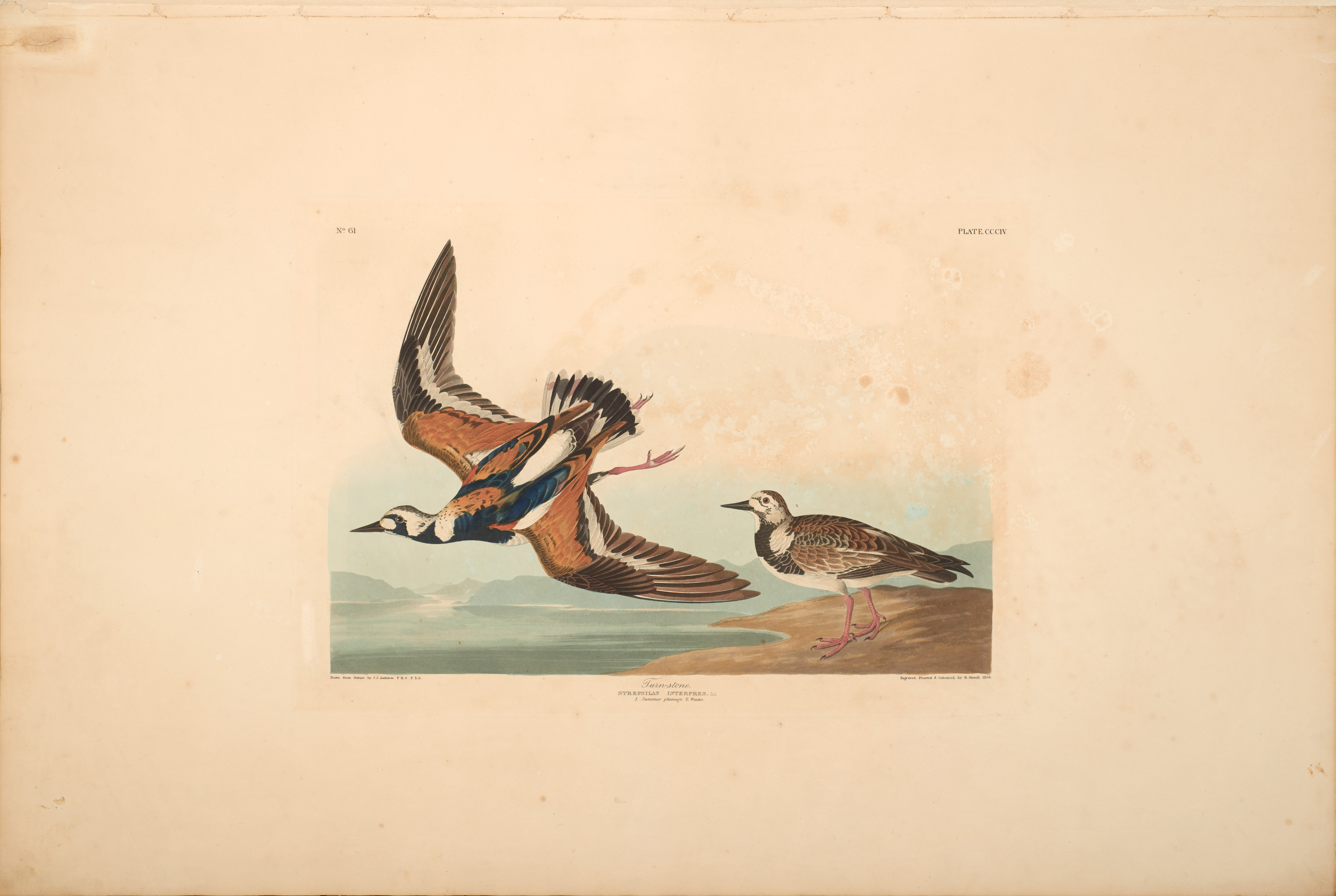 John James Audubon, Turn-stone, from The Birds of America, 1827 – 38 , h and - colored aquatint/engraving on paper , 40 x 26 in., North Carolina Museum of Art, Transfer from the North Carolina State Library