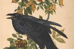 John James Audubon, Raven, from The Birds of America, 1827 – 38 , hand - colored aquatint/engraving on paper , 40 x 26 in., North Carolina Museum of Art, Transfer from the North Carolina State Library