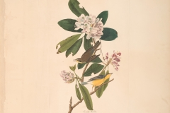John James Audubon, Canada Warbler, from The Birds of America, 1827 – 38 , hand - colored aquatint/engraving on paper , 40 x 26 in., North Carolina Museum of Art, Transfer from the North Carolina State Library