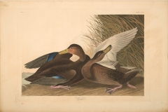 John James Audubon, Dusky Duck, from The Birds of America, 1827 – 38 , hand - colored aquatint/engraving on paper , 40 x 26 in., North Carolina Museum of Art, Transfer from the North Carolina State Library
