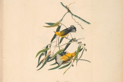 John James Audubon, Prothonotary Warbler, from The Birds of America, 1827 – 38 , hand - colored aquatint/engraving on paper , 40 x 26 in., North Carolina Museum of Art, Transfer from the North Carolina State Library