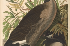John James Audubon, Canada Goose, from The Birds of America, 1827 – 38 , hand - colored aquatint/engraving on paper , 40 x 26 in., North Carolina Museum of Art, Transfer from the North Carolina State Library