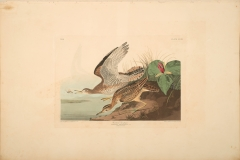 John James Audubon , Bartram Sandpiper, from The Birds of America, 1827 – 38 , hand - colored aquatint/engraving on paper , 40 x 26 in., North Carolina Museum of Art, Transfer from the North Carolina State Library