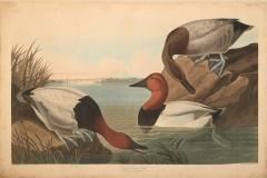John James Audubon, Canvas-backed Duck , from The Birds of America, 1827 – 38 , hand - colored aquatint/engraving on paper , 40 x 26 in., North Carolina Museum of Art, Transfer from the North Carolina State Library