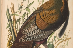 John James Audubon, Wild Turkey, from The Birds of America, 1827 – 38 , hand - colored aquatint/engraving on paper , 40 x 26 in. , North Carolina Museum of Art, Transfer from the North Carolina State Library