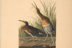 John James Audubon, Salt-water Marsh Hen, from The Birds of America, 1827 – 38 , hand - colored aquatint/engraving on paper , 40 x 26 in., North Carolina Museum of Art, Transfer from the North Carolina State Library