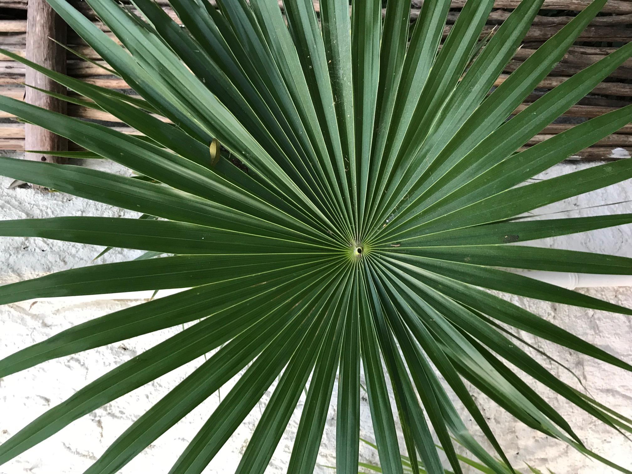 Palm Frond, Mahekal Resort, Mexico