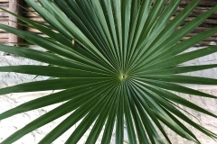 Palm Frond, Mahekal Resort, Mexico