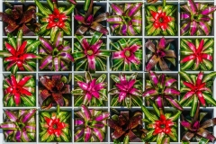 Bromeliad Square: A display of bromeliads by Selby Gardens' horticulture team provides a taste of how Warhol's uses of color, grids and repetition that will be enacted on a larger scale in the conservatory and throughout the grounds. Photo by Darren Erickson, courtesy Marie Selby Botanical Gardens