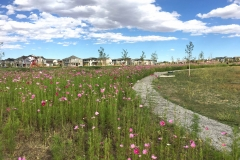 Fields of Cosmos introduce flashes of annual color during the initial native grass plant establishment in Cottonwood Gallery.