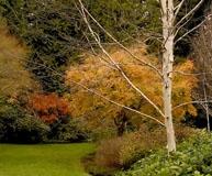 bloedelbirchmaplegrass1200