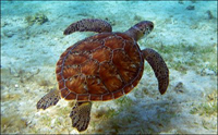 green_sea_turtle_1_