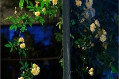 Ladybanks Rose Ring