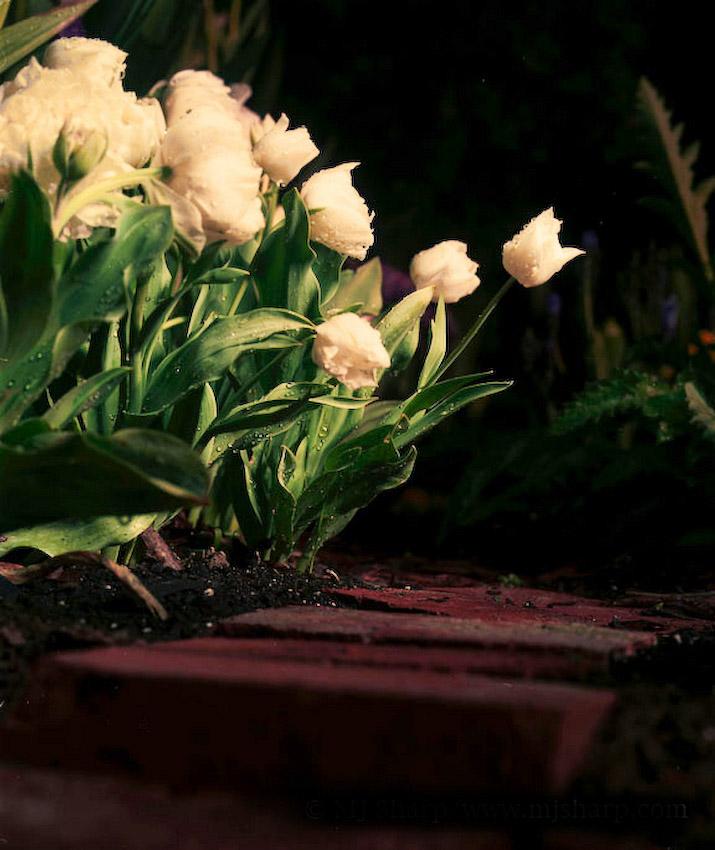 4 AM Tulips