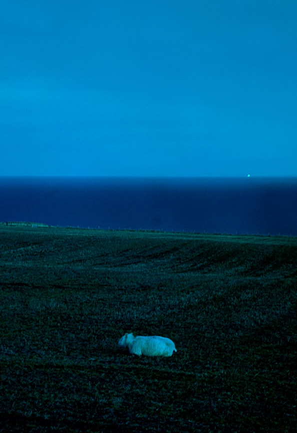 Solitary Sheep