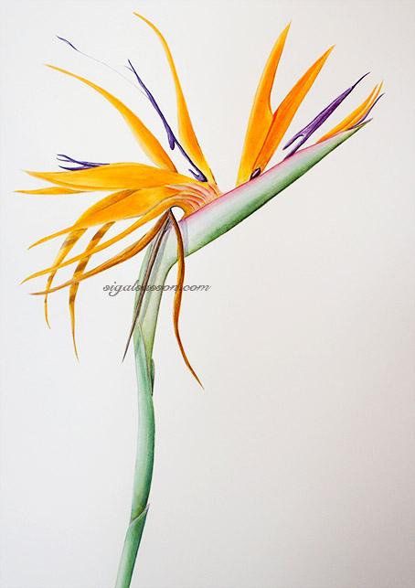 Bird of Paradize Watercolor