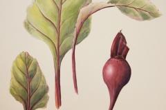 Beet Root Watercolor