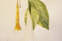 White Datura Watercolor