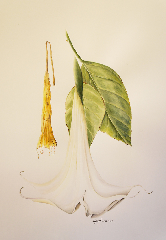 White Datura Watercolor